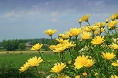 Margaritas amarillas Imagenes de archivo