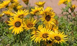 Margaritas amarillas brillantes de Namaqualand en arbustos verdes Imágenes de archivo libres de regalías