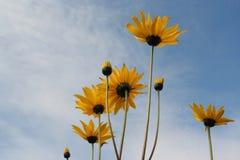 Margaritas amarillas contra un cielo azul Imagen de archivo