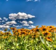 Margaritas amarillas debajo de un cielo azul Fotos de archivo libres de regalías