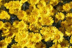 Margaritas amarillas del verano Foto de archivo libre de regalías