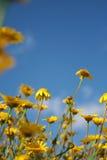 Margaritas amarillas y cielo azul Imagen de archivo libre de regalías