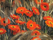 Margaritas anaranjadas Imagen de archivo libre de regalías