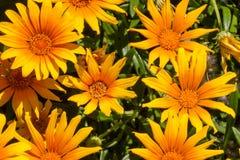 Margaritas anaranjadas Foto de archivo libre de regalías