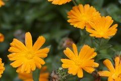 Margaritas anaranjadas imágenes de archivo libres de regalías