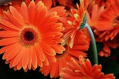 Margaritas anaranjadas del gerbera Imagen de archivo