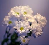 Margaritas blancas Foto de archivo