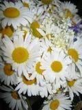 Margaritas blancas Imágenes de archivo libres de regalías