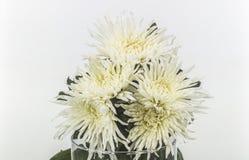 Margaritas blancas Fotos de archivo