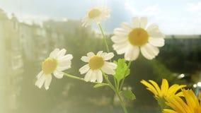 Margaritas blancas Fotos de archivo libres de regalías