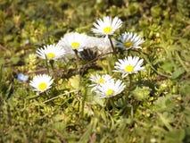 Margaritas blancas de la primavera Foto de archivo