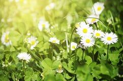 Margaritas blancas de la primavera Fotografía de archivo