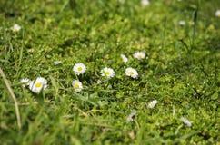 Margaritas blancas de la primavera Fotografía de archivo libre de regalías