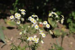 Margaritas blancas de los Wildflowers Fotos de archivo libres de regalías