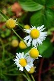 Margaritas blancas del otoño Imagenes de archivo