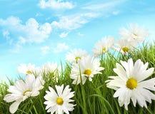 Margaritas blancas del verano en hierba alta Imágenes de archivo libres de regalías