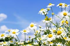 Margaritas blancas en el cielo Imagenes de archivo