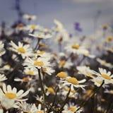 Margaritas blancas en el cielo Fotos de archivo libres de regalías