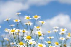 Margaritas blancas en el cielo azul Fotografía de archivo