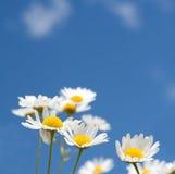 Margaritas blancas en el cielo azul Foto de archivo