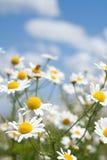 Margaritas blancas en el cielo azul Foto de archivo libre de regalías