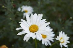 Margaritas blancas en el jardín Foto de archivo libre de regalías