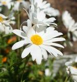 Margaritas blancas en jardín fotografía de archivo