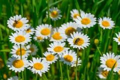Margaritas blancas en luz del sol Fotos de archivo libres de regalías