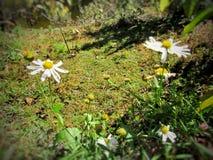Margaritas blancas en prado fotografía de archivo libre de regalías