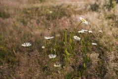 Margaritas blancas en un fondo del prado del verano Foto de archivo libre de regalías