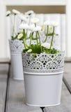 Margaritas blancas frescas en biblioteca Foto de archivo libre de regalías