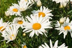 Margaritas blancas grandes debajo del sol brillante del verano imagen de archivo libre de regalías