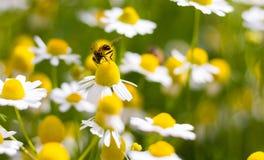 Margaritas blancas que florecen en el jardín con la abeja Foto de archivo libre de regalías