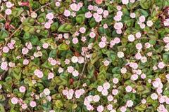 Margaritas blancas y rosadas vistas en Rye, Kent, Reino Unido Imagen de archivo