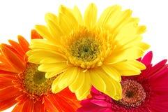 Margaritas coloridas del gerber Imagenes de archivo