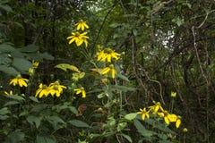 Margaritas con el fondo del bosque Fotografía de archivo