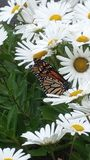 Margaritas con la mariposa de monarca foto de archivo