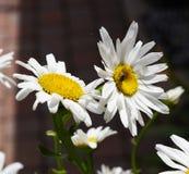 Margaritas con una abeja ocupada que recoge el polen Imagen de archivo libre de regalías