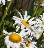 Margaritas con una abeja ocupada que recoge el polen en el sol Fotos de archivo