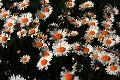 Margaritas de la primavera foto de archivo libre de regalías