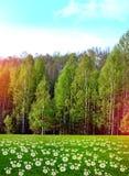 Margaritas de los Wildflowers en un fondo de un bosque de la primavera Fotografía de archivo libre de regalías