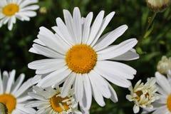 Margaritas de Shasta de la plena floración en julio Fotografía de archivo libre de regalías