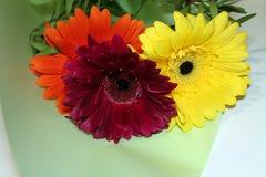Margaritas de Transvaal Ramo de flores imágenes de archivo libres de regalías