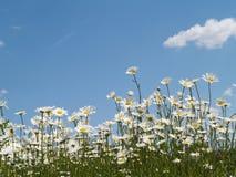 Margaritas del cielo azul Fotos de archivo libres de regalías