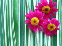 Margaritas del color de rosa caliente Fotos de archivo libres de regalías
