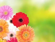 Margaritas del Gerbera Fotografía de archivo libre de regalías