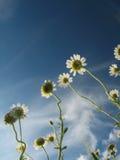 Margaritas del verano bajo el cielo azul Fotografía de archivo