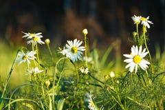 Margaritas en el campo con luz del sol imagenes de archivo