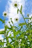 Margaritas en el cielo azul Imagen de archivo