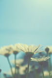 Margaritas en el sol Imágenes de archivo libres de regalías